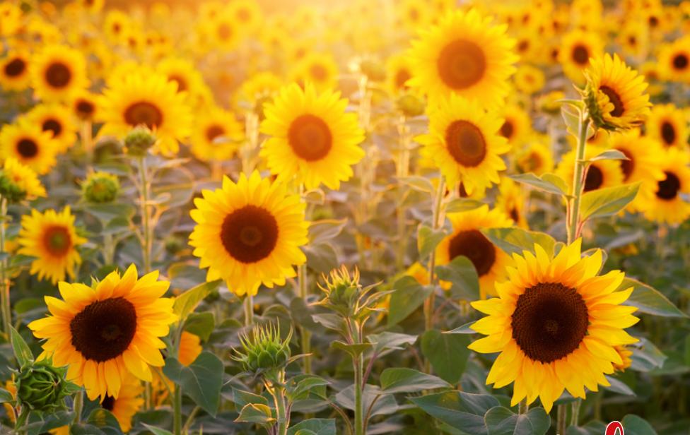 sommer-natuerlich_Pics_insta-Sonnenblume-1.png